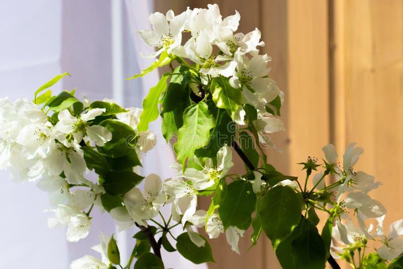 Bouteille en verre avec les branches se développantes de la cerise, pommier photographie stock