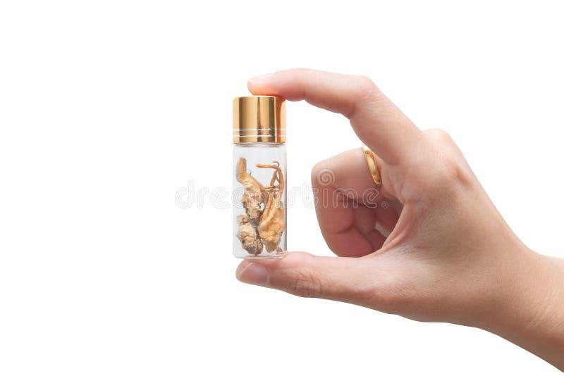 Bouteille en verre de participation de la main de la femme de sinensis naturel jaune d'or de cordyceps, pour employer comme médec photo stock