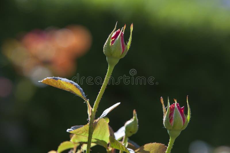 Boutons de rose chez Merrick Rose Garden photo libre de droits