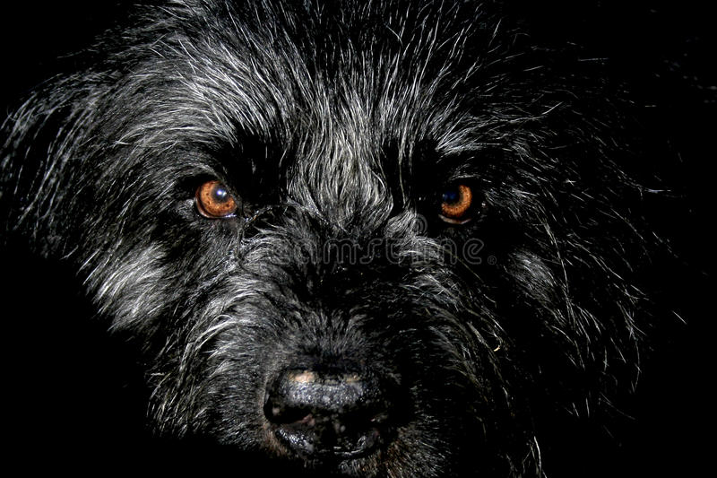 Download Bouvier Des Flandres Royalty Free Stock Photos - Image: 11664468