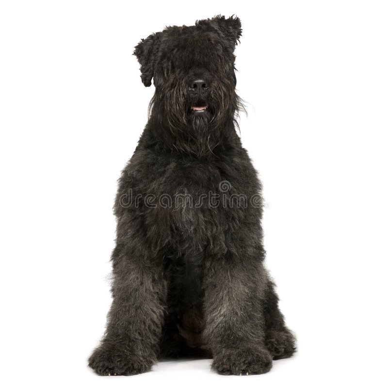 Bouvier des Flandres (2 years) stock images