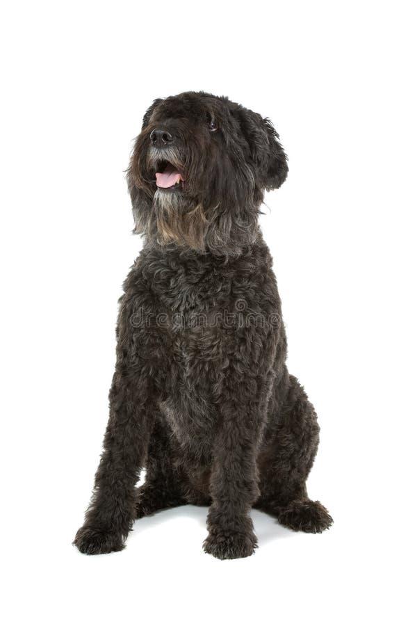 Download Bouvier des Flandres dog stock image. Image of flandres - 12040121