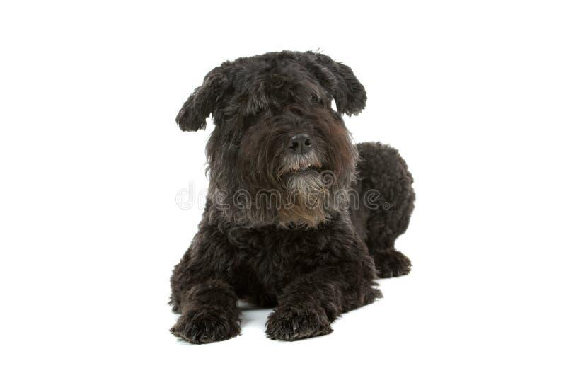 Download Bouvier des Flandres dog stock photo. Image of studio - 12044762