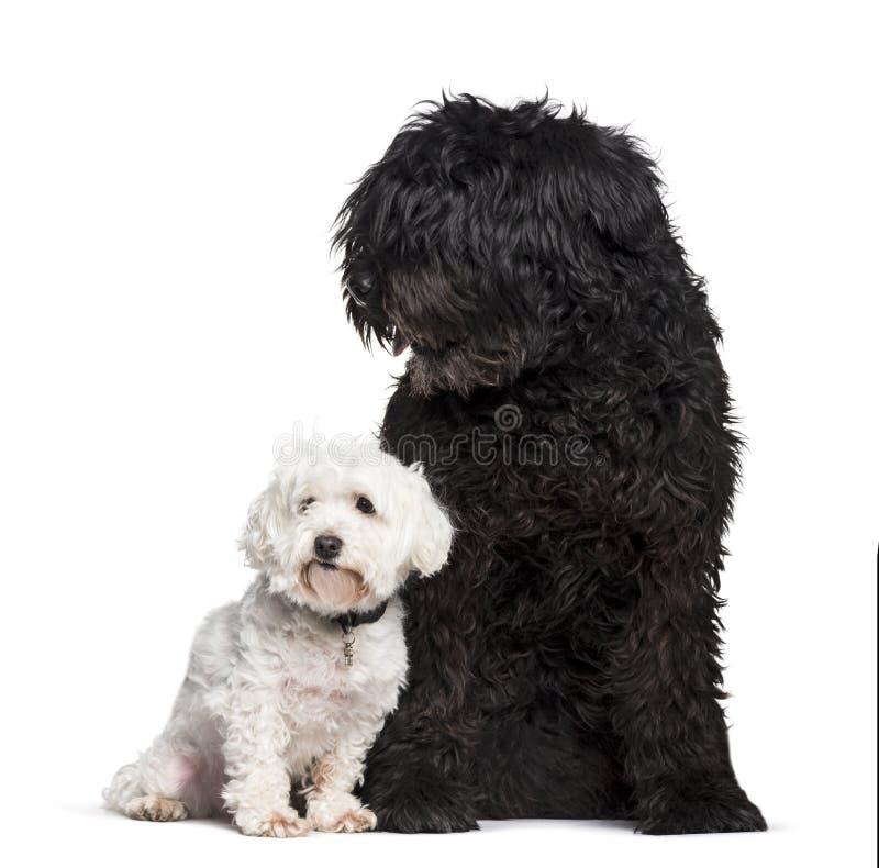 Bouvier des Flandres and Maltese dog sitting against white backg. Round stock photo