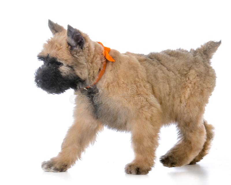 Bouvierpuppy die dragend oranje kraag lopen royalty-vrije stock afbeeldingen