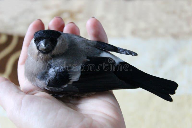 Bouvreuil d'oiseau en main images libres de droits