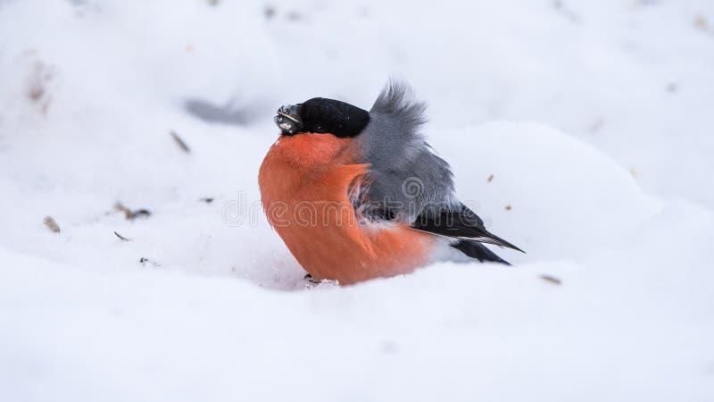 Bouvreuil sur la neige un jour très venteux photo stock