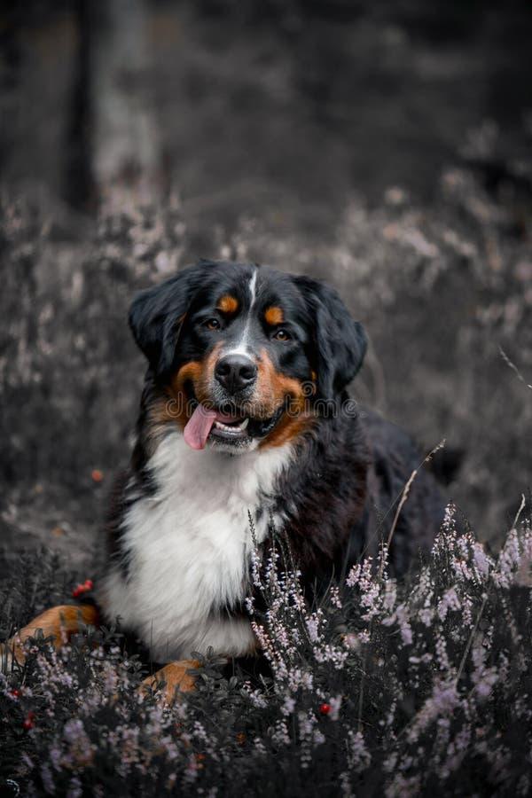 Bovaro bernese che si trova ai fiori di estate alla foresta fotografia stock