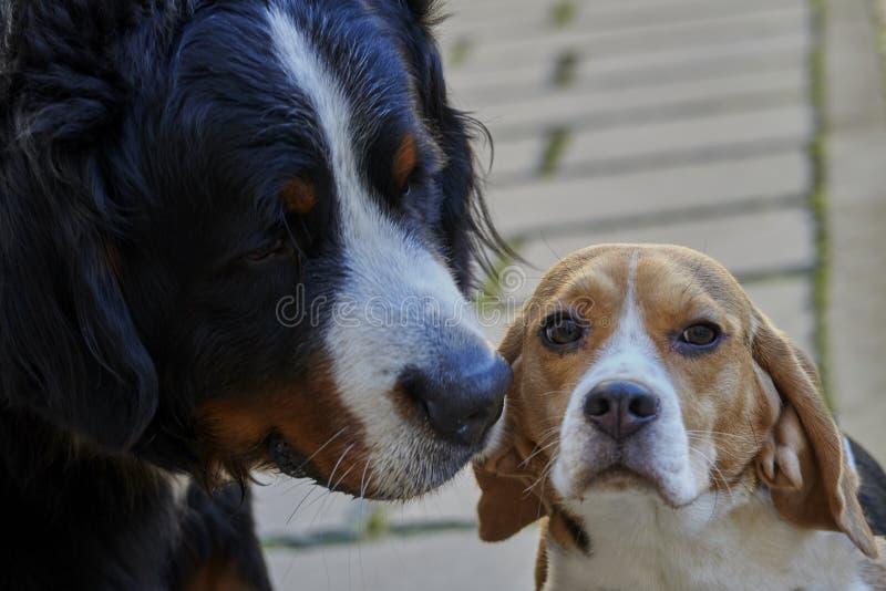 Bovaro bernese e cane da lepre immagini stock