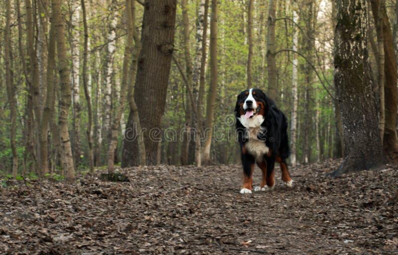 Bovaro bernese realmente bello Grande cane - bovaro bernese! fotografie stock