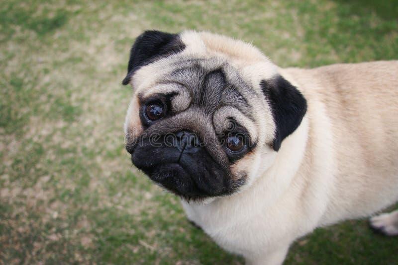 Boven een Pug portret stock afbeeldingen