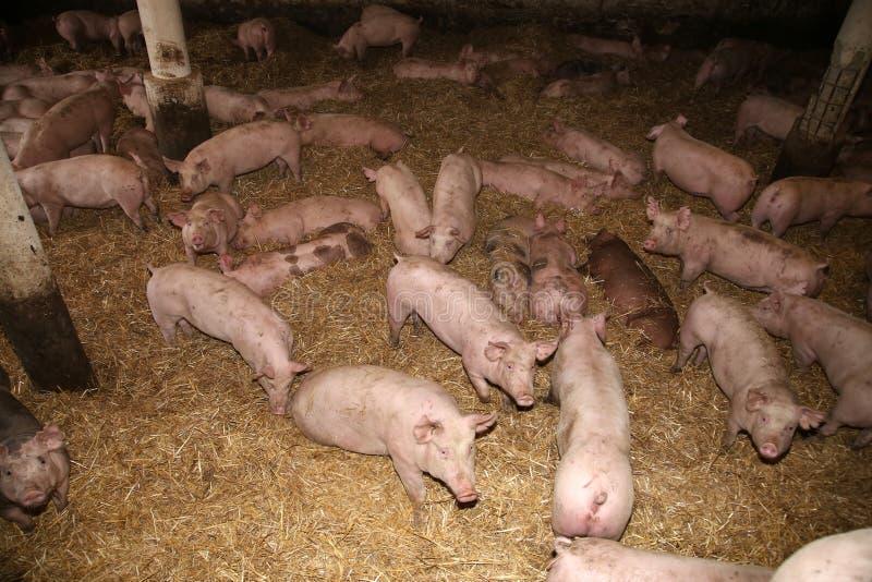 Boven foto van machtige varkenszeugen in de schuur stock foto