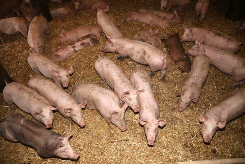 Boven foto van machtige varkenszeugen in de schuur stock afbeelding