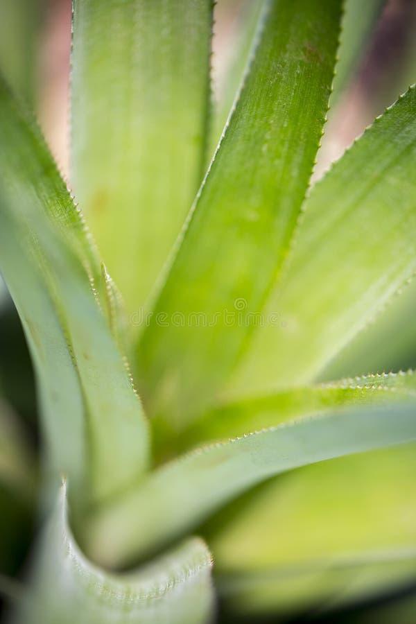 Bovenaanzicht van het patroon van ananasappelbladeren in Madhupur, Tangail, Bangladesh stock afbeelding