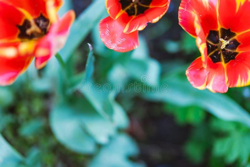 Bovenkant van Boom mooie rode tulpen wordt geschoten in het park dat Lentetijdtijd stock afbeelding