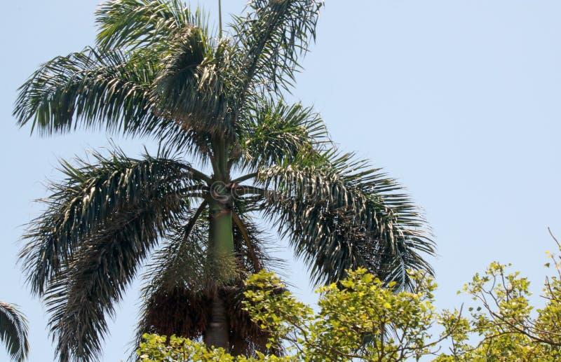 BOVENKANT VAN DE KONINKLIJKE PALM VAN FLORIDA stock afbeeldingen