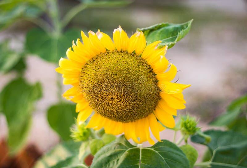 Bovenkant van het fruit van rijpe zonnebloem stock foto's