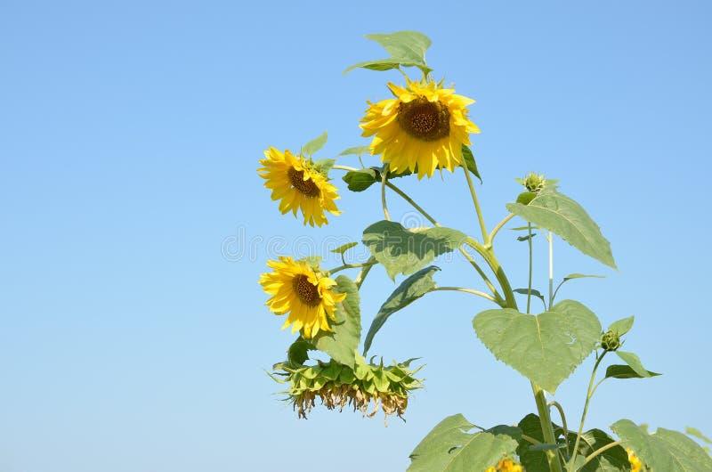 Bovenkant van installatie een zonnebloem met gele bloemen tegen blauwe hemel royalty-vrije stock afbeeldingen