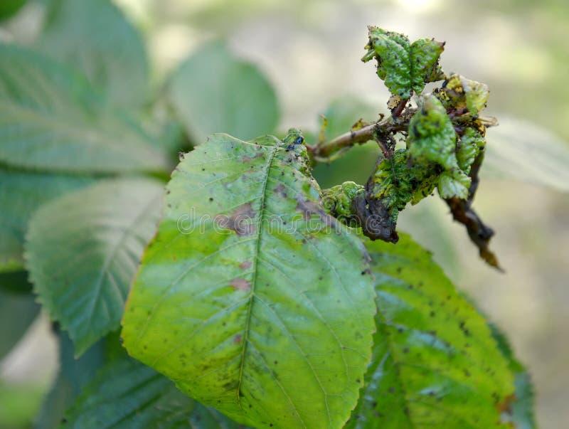 Bovenkant van vlucht van zoete die kers, door een bladluis wordt beschadigd stock foto's