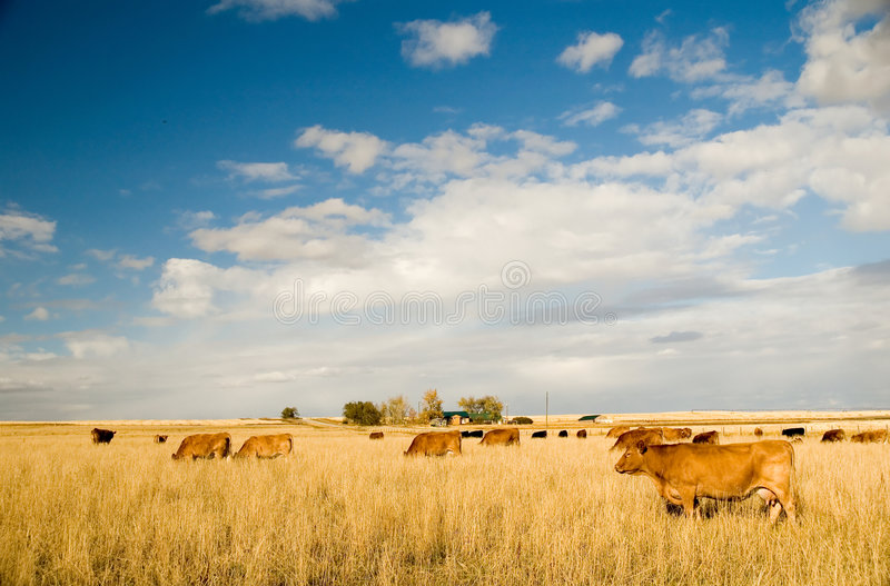 Bovine milk cows. In a field stock photography