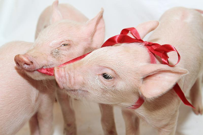 Bow Piglets royalty free stock photos