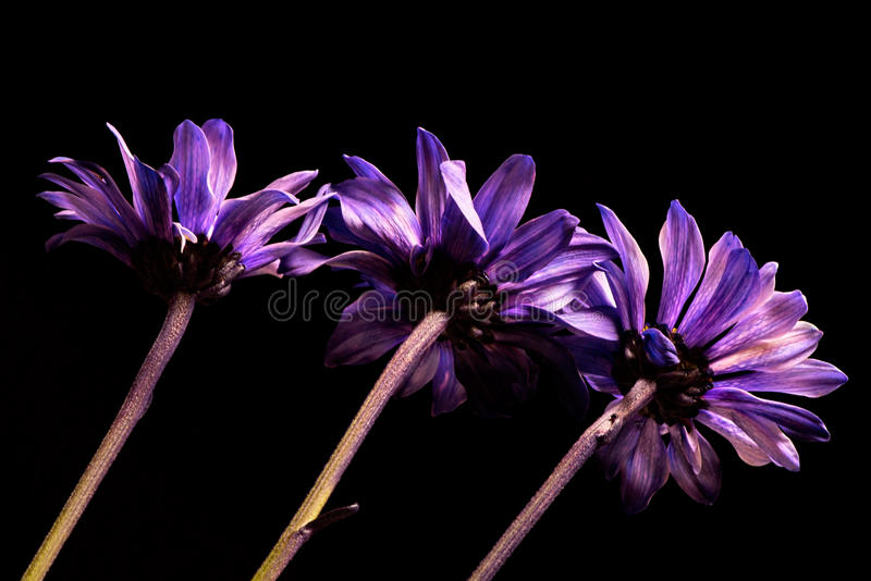Bowed Heads. Row of florist tinted daisies appear as if heads are bowed stock photography