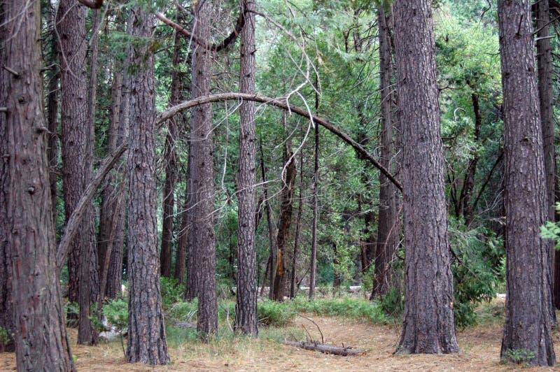 Bowed Tree Stock Photography