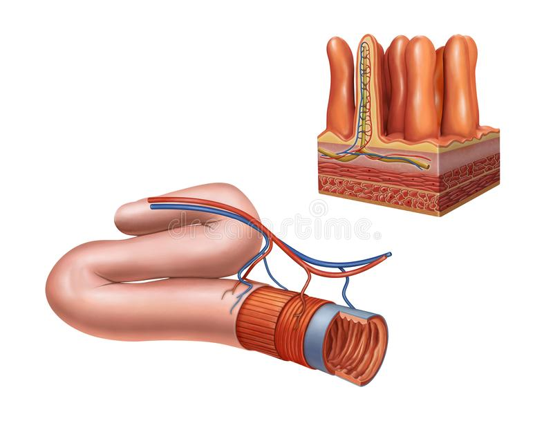 Bowel and villi cross-section stock illustration