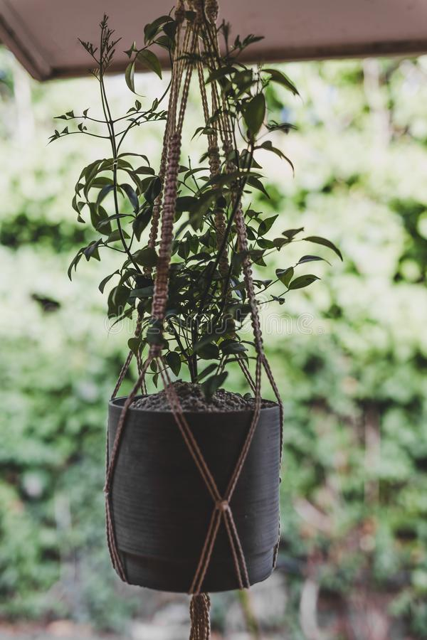 Bower of beauty mandavillea plant in hanging macrame pot in private garden stock photography