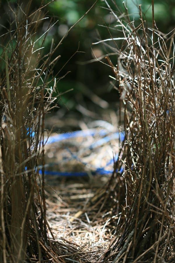 Bower. Of the  Bird stock photo