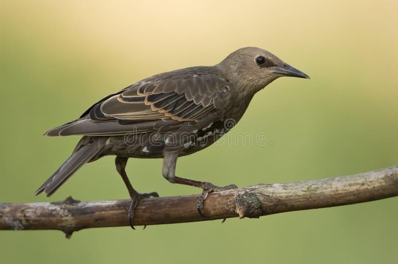 Bower-bird. On the branch stock photos