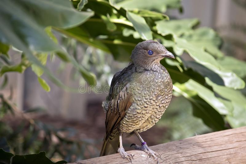 A bower bird. The bower bird is perched a railing stock photos
