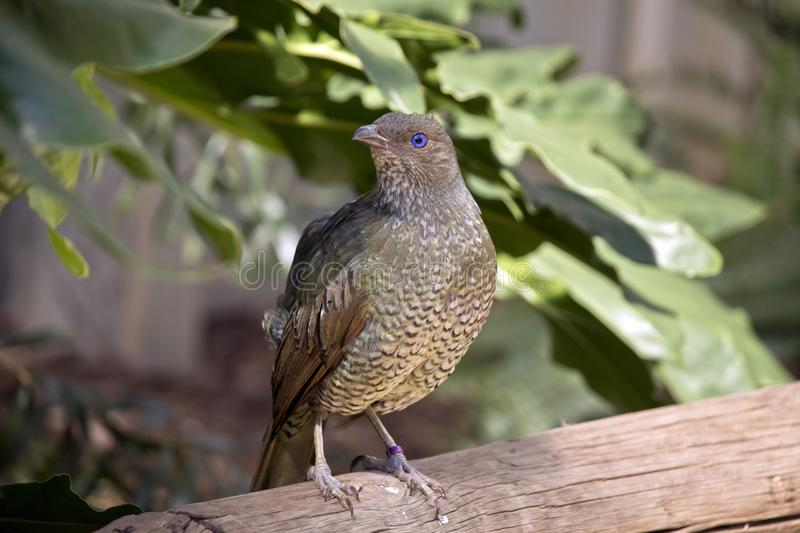 A bower bird. The bower bird is perched a railing royalty free stock image