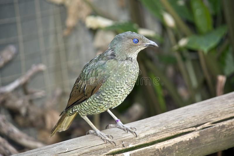 A bower bird. The bower bird is perched a railing stock photo