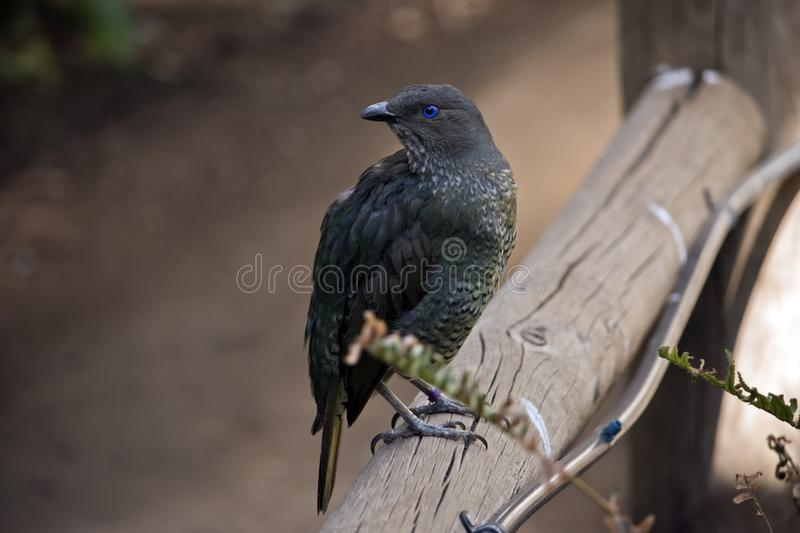 A bower bird. The bower bird is on a railing royalty free stock photography