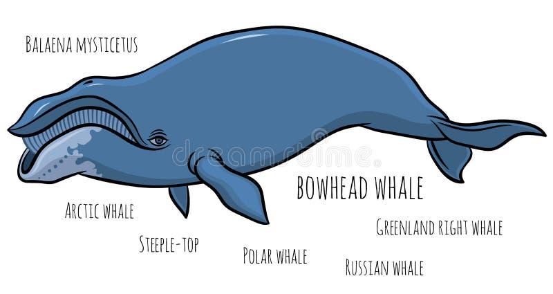 Bowhead of de walvis van Groenland royalty-vrije illustratie