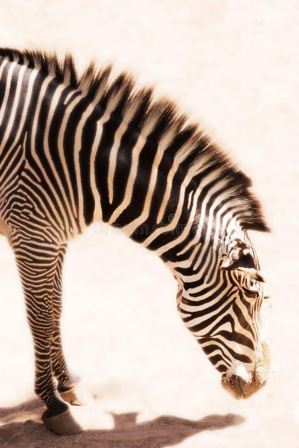 Bowing Zebra royalty free stock image
