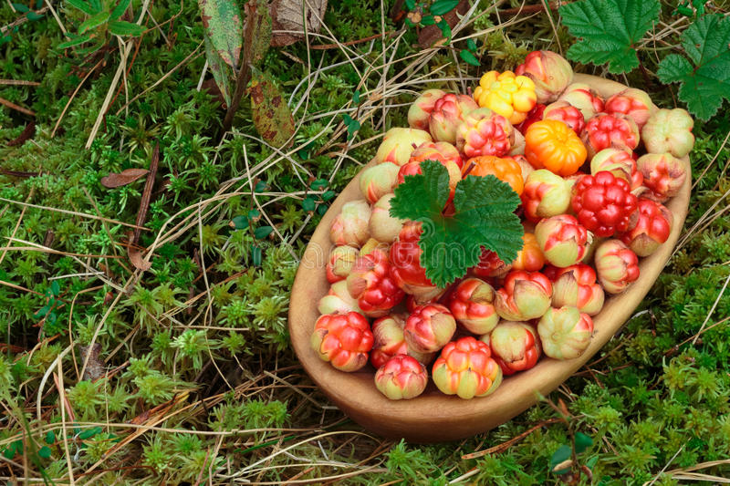 Bowl of cloudberries in the moss. Bowl of cloudberries (Rubus Chamaemorus) with leaves standing on moss. Large depth of field, background, copyspace royalty free stock photography
