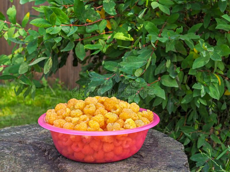 A bowl filled with freshly picked yellow raspberries royalty free stock image