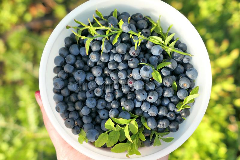 A bowl full of wild blueberries royalty free stock image