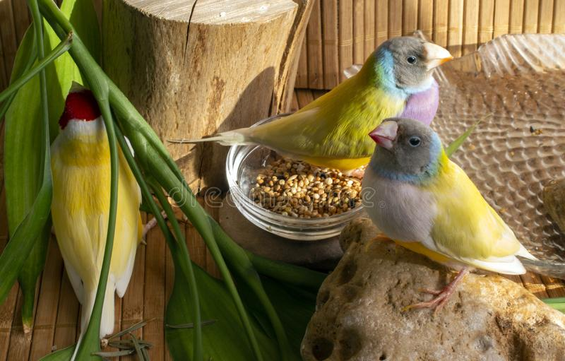 Three different colored Gouldian finches at home. stock photos