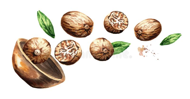 Bowl with nutmeg nuts. Hand drawn horizontal watercolor illustration isolated on white background. stock illustration