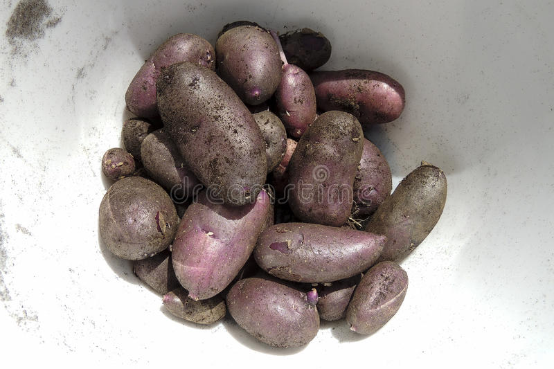 Bowl of purple potatoes with dirt still on stock image