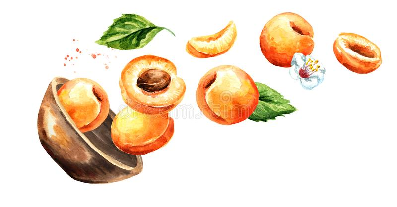 Bowl with ripe apricots. Hand drawn horizontal watercolor illustration, isolated on white background vector illustration
