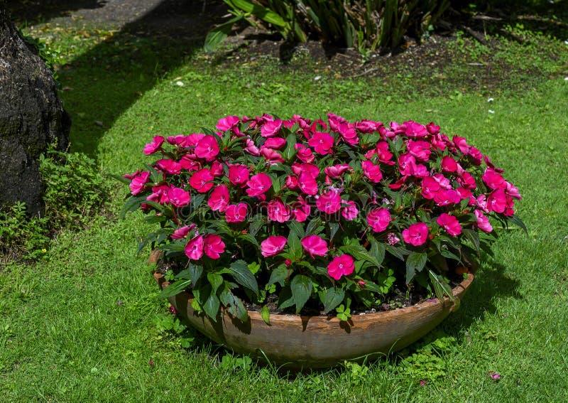 Bowl shaped plantar full of dark pink impatiens Walleriana flowers in Camogli, Italy royalty free stock photos