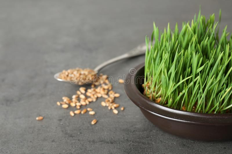 Bowl with sprouted wheat grass seeds on grey, space for text. Bowl with sprouted wheat grass seeds on grey background, space for text royalty free stock photos