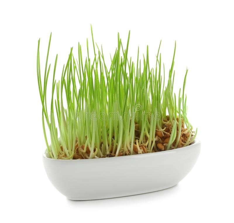 Bowl with sprouted wheat grass on white background royalty free stock photos