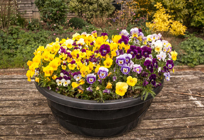 Bowl of Violas. Colorful and crowded planting of violas stock photos