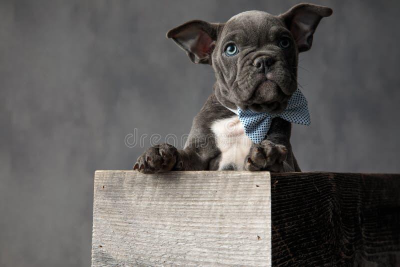 Bowtie любопытного маленького щенка нося пока сидящ в коробке стоковое фото rf
