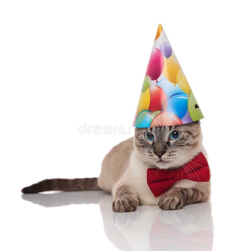 Bowtie del gato gris lindo de los metis y sombrero del cumpleaños que llevan imágenes de archivo libres de regalías